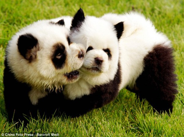 panda hund
